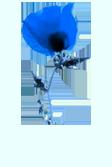 Kék pipacs